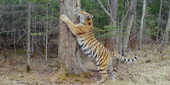 Aufgerichteter Sibirischer Tiger wetzt seine Krallen an einem Baum