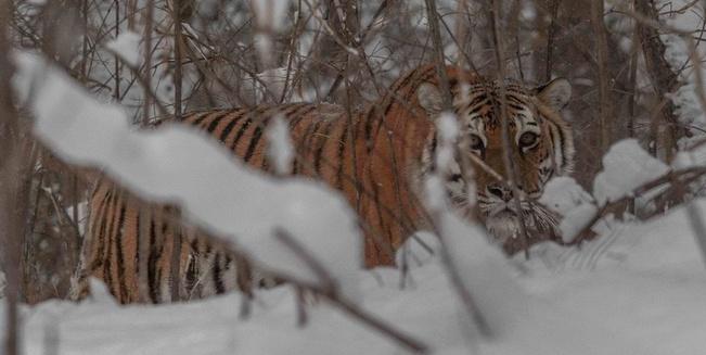 Sibirische Tigerin im Unterholz
