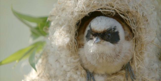 Eine Beutelmeise im Nest